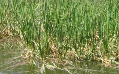 Manna Grass