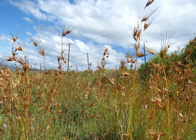 Redgras (Rooigras)