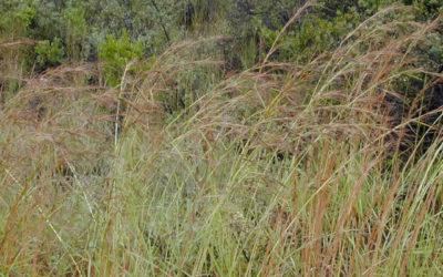 Thatch Grass