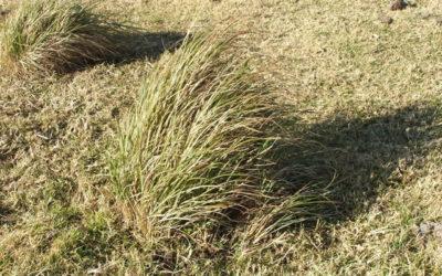 Turpentine Grass