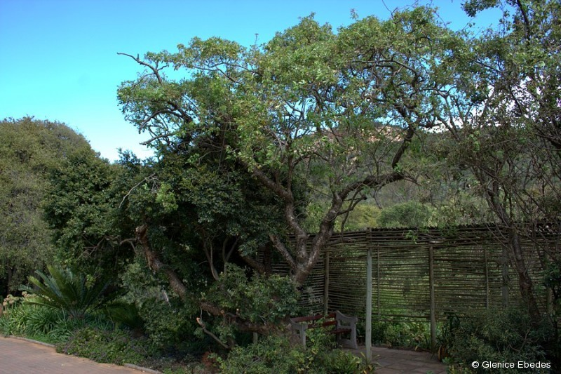 Peeling Bark Parsley Tree