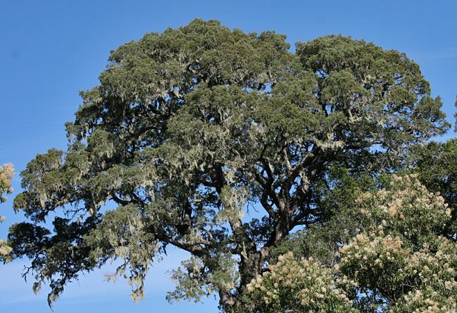 Small Leaf Yellowwood