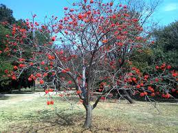Common Coral Tree