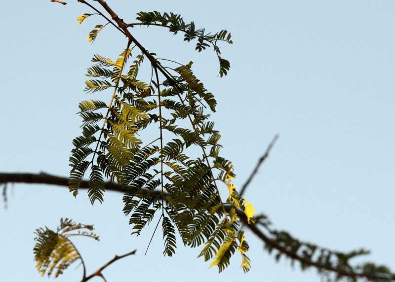 Common False Thorn