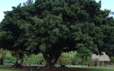 Common Wild Fig