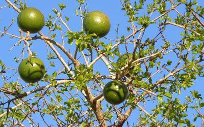 Green Monkey Orange