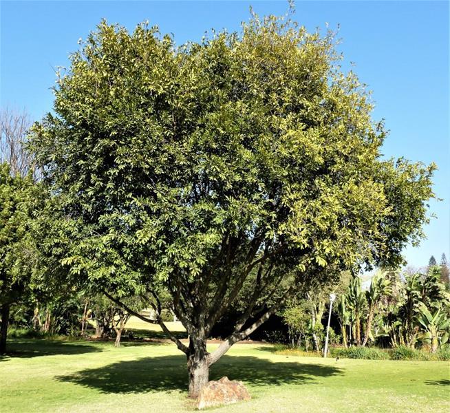 Jackal Berry or Leopard Tree