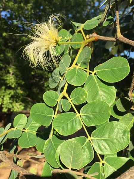 Large Leafed False Thorn