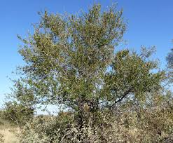 Russet Bush Willow