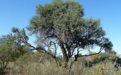 Shepard's Tree
