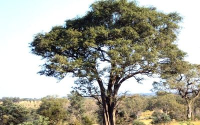 Torchwood / Green Thorn