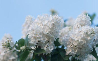White Seringa