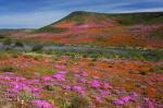 Spring Wildflower Display Northern Cape.jpg